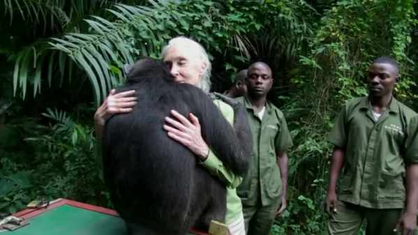 Un chimpanzé remercie sa bienfaitrice (Video)