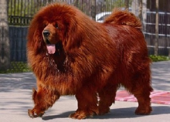 Le chien le plus cher du monde