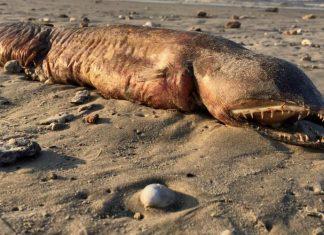 Un Monstre marin retrouvée sur la plage après l'ouragan Harvey (VIDÉO)