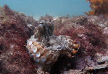 Une ville de poulpes (Octlantis) découverte sous les mers