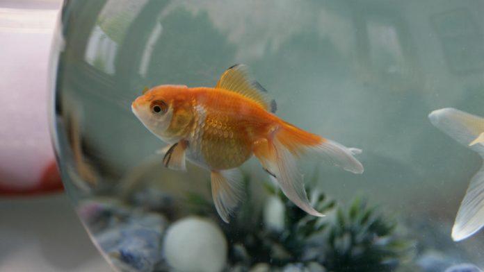 Découvrez pourquoi il ne faut jamais relâcher ses poissons rouges dans la nature
