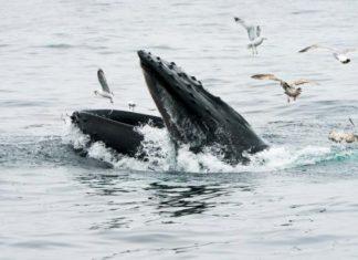 États-Unis : Un pêcheur de homards avalé par une baleine à bosse mais sain et sauf