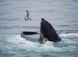 Michael Packard : Le pêcheur de homards « avalé » par une baleine raconte son expérience traumatisante